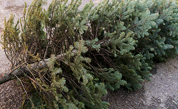 image of Christmas tree collection service 2019